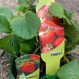 Strawberry 'Cambridge Favourite' - pack of 6