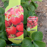 Strawberry 'Hapil' - pack of 6