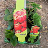 Strawberry 'Judibell' - pack of 6