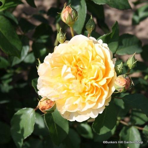 Graham Thomas - David Austin English musk rose