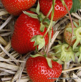 Strawberry 'Sweetheart' - pack of 6