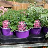 Diascia 'Pink' - 9cm pot