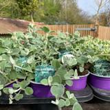Helichrysum 'Silver' - 9cm pot