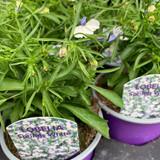 Lobelia 'Springs White' - 9cm pot