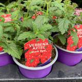 Verbena 'Aztec Dark Red' - 9cm pot