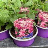 Verbena 'Aztec Pink' - 9cm pot