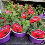 Surfinia 'Dark Red' - 9cm pot