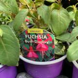Fuchsia (bush) 'Display ' - 9cm pot
