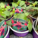 Fuchsia (bush) 'Dollar Princess ' - 9cm pot