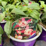 Fuchsia (bush) 'Patio Princess ' - 9cm pot