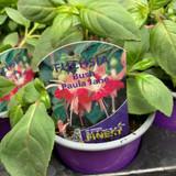Fuchsia (bush) 'Paula Jane' - 9cm pot
