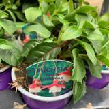 Fuchsia (bush) 'Snowcap' - 9cm pot