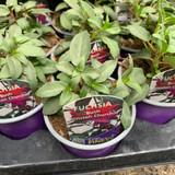Fuchsia (bush) 'Winston Churchill' - 9cm pot