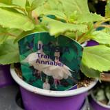 Fuchsia (trailing) 'Annabelle' - 9cm pot
