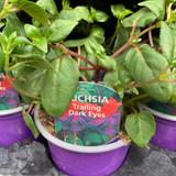 Fuchsia (trailing) 'Dark Eyes' - 9cm pot