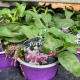 Fuchsia (trailing) 'Holly's Beauty' - 9cm pot