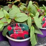 Fuchsia (trailing) 'Marinka' - 9cm pot
