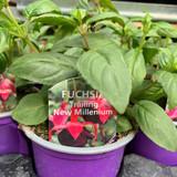 Fuchsia (trailing) 'New Millenium' - 9cm pot