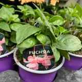 Fuchsia (trailing) 'Pink Galore' - 9cm pot
