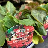 Begonia (pendula) 'Light Pink' - 9cm pot