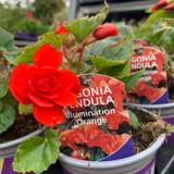 Begonia (pendula) 'Orange' - 9cm pot
