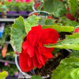 Begonia (pendula) 'Scarlet' - 9cm pot