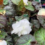 Begonia (pendula) 'White' - 9cm pot