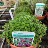 Thyme 'Caborn Wine and Roses' (11cm)