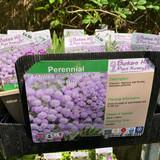 Achillea millefolium 'Lilac Beauty' 1ltr pot
