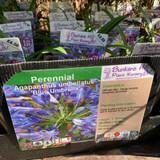 Agapanthus umbellatus 'Blue Umberella' 1ltr pot