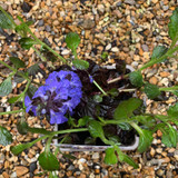 Ajuga reptans 'Black Scallop'1ltr pot