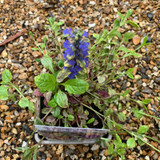 Ajuga reptans Golden Glow 1ltr pot
