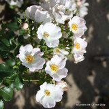 Nevada - Shrub rose