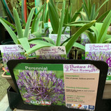 Allium christophii  1ltr pot
