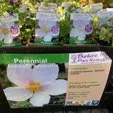 Anemone sylvestris 1ltr pot
