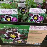 Aquilegia vulgaris 'William Guiness' 1ltr pot