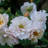 Penelope - Hybrid musk shrub rose