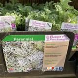 Artemisia 'Powis Castle' 1ltr pot
