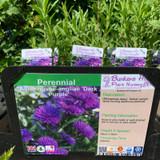 Aster novae-angliae 'Dark Purple' 1ltr pot