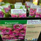 Bergenia cordifolia 1ltr pot