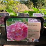 Alcea rose 'Chaters Double Pink' (Hollyhock) 1ltr pot