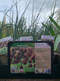 Allium 'Drumstick' (sphaerocephalon) - 1ltr pot