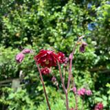Aquilegia vulgaris stellata 'Ruby Port' 1ltr pot