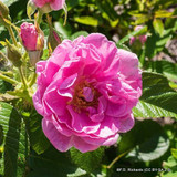 Sarah Van Fleet - Rugosa shrub rose