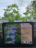 Delphinium belladonna 'Cliveden Beauty' 1ltr