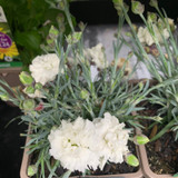 Dianthus Early bird Artic Star 1ltr