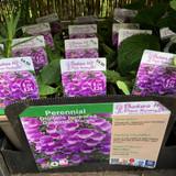 Digitalis purpurea 'Dalmation Purple' (Foxglove) 1ltr
