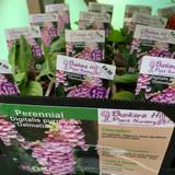 Digitalis purpurea 'Dalmation Rose' (Foxglove) 1ltr