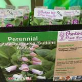 Digitalis purpurea 'Suttons Apricot' (Foxglove) 1ltr