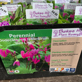 Dodecatheon tetraandum 'Red light' (Sailor Caps) 1ltr